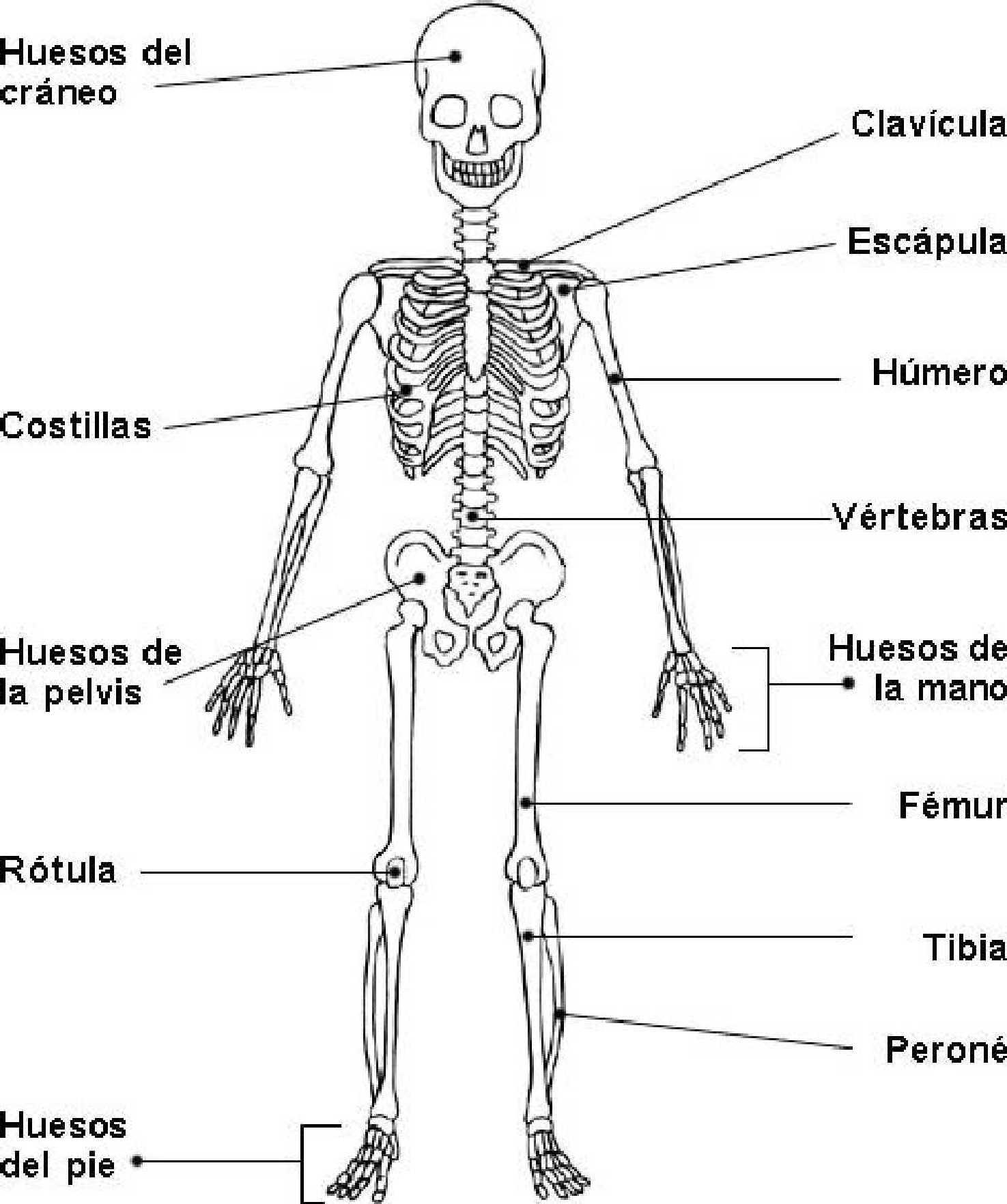 Vistoso La Imagen Del Esqueleto Con El Nombres De Los Huesos Viñeta ...